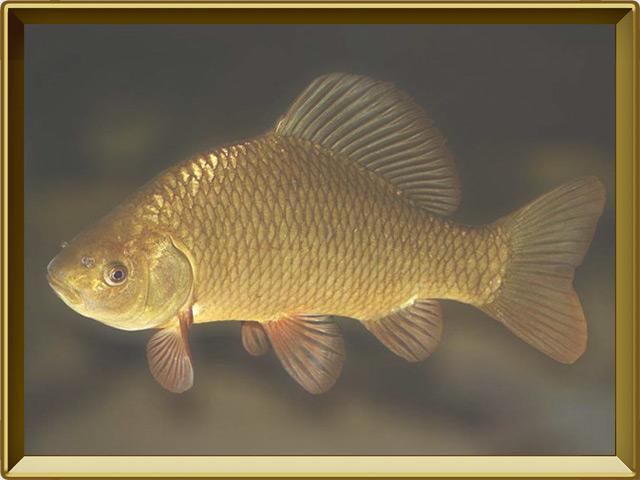 Карась золотой — рыба, фото в рамке №2
