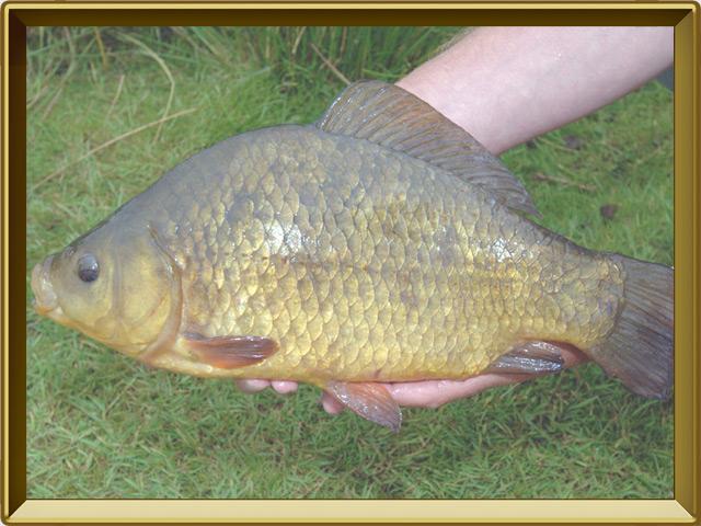 Карась золотой — рыба, фото в рамке №3