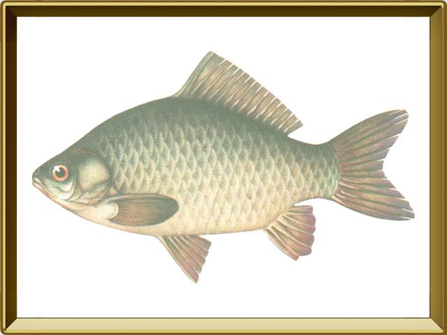 Карась — рыба, фото в рамке №1