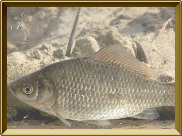 Карась — рыба, фото в рамке №2