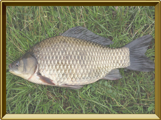 Карась — рыба, фото в рамке №3