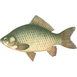Карась — рыба, картинка цветная