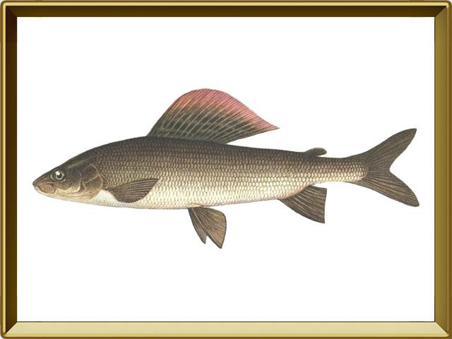 Хариус сибирский — рыба, фото в рамке №1