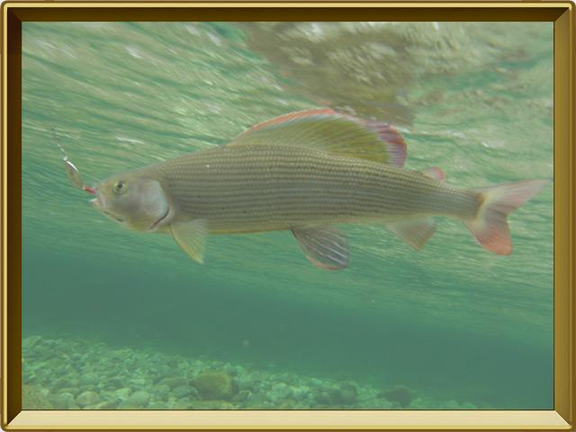 Хариус сибирский — рыба, фото в рамке №2