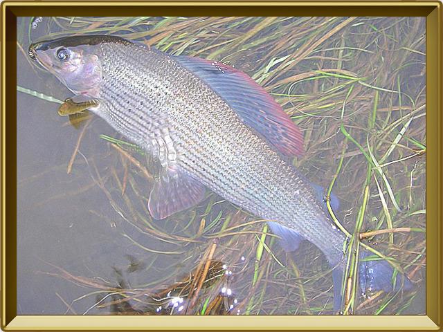 Хариус сибирский — рыба, фото в рамке №3