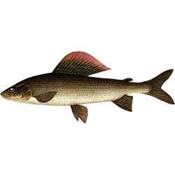 Хариус сибирский — рыба, картинка цветная