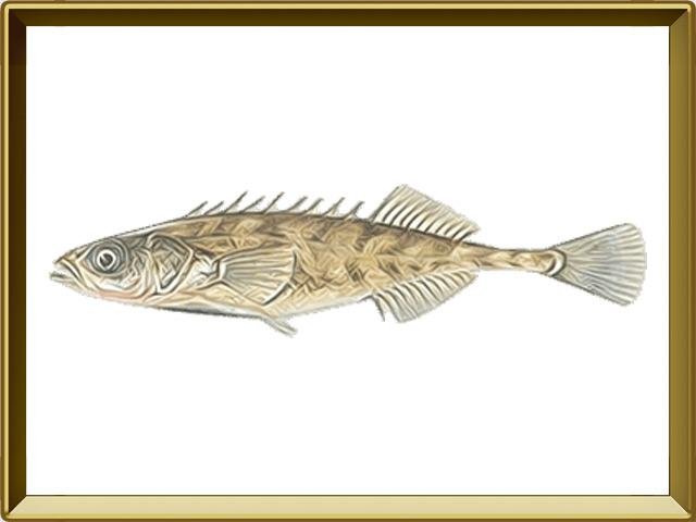 Колюшка девятииглая — рыба, фото в рамке №1