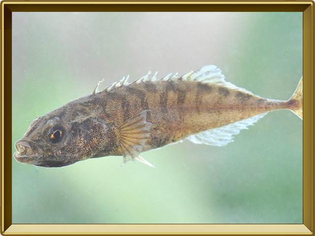 Колюшка девятииглая — рыба, фото в рамке №2