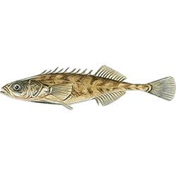 Колюшка девятииглая — рыба, картинка цветная