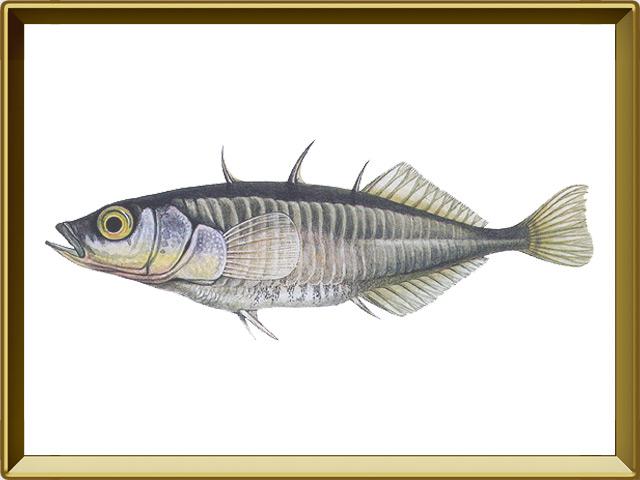 Колюшка трёхиглая — рыба, фото в рамке №1