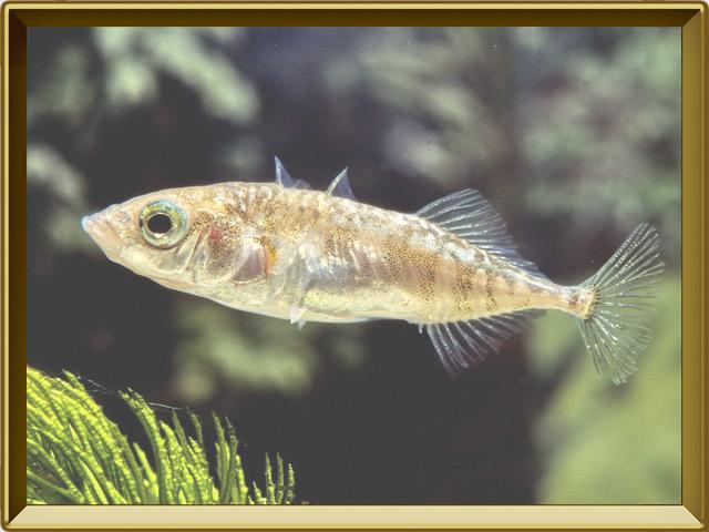 Колюшка трёхиглая — рыба, фото в рамке №2