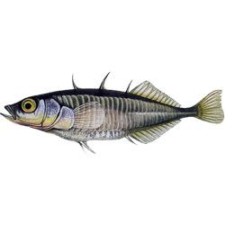 Колюшка трёхиглая — рыба, картинка цветная