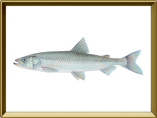Корюшка европейская — рыба, фото в рамке №1
