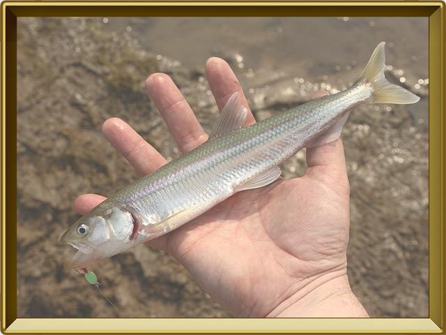 Корюшка европейская — рыба, фото в рамке №3