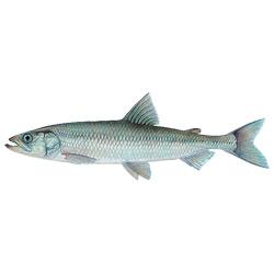 Корюшка европейская — рыба, картинка цветная