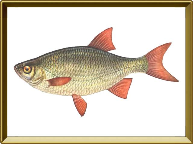 Краснопёрка — рыба, фото в рамке №1