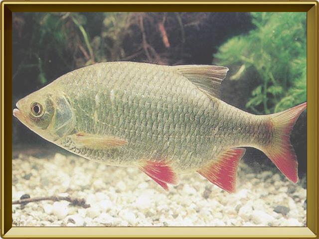 Краснопёрка — рыба, фото в рамке №2