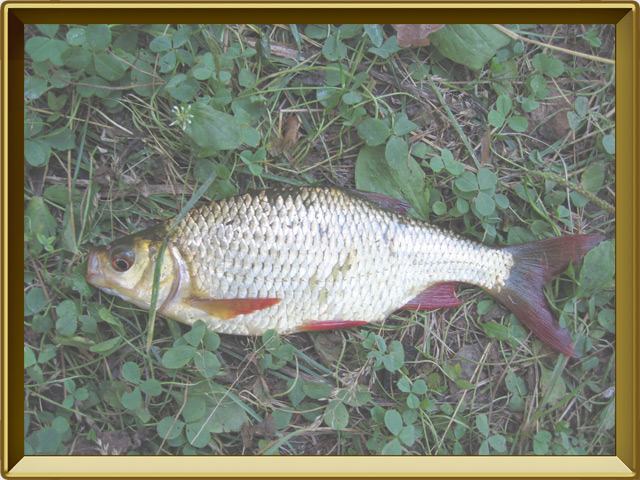 Краснопёрка — рыба, фото в рамке №3