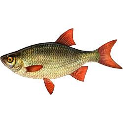 Краснопёрка — рыба, картинка цветная
