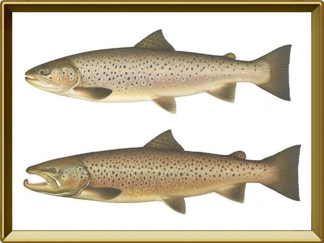 Кумжа — рыба, фото в рамке №1