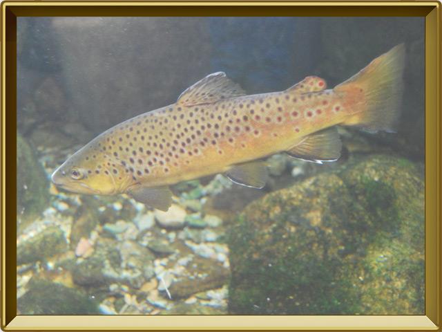 Кумжа — рыба, фото в рамке №2