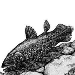 Латимерия — рыба, картинка чёрно-белая