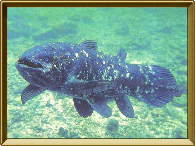 Латимерия — рыба, фото в рамке №2