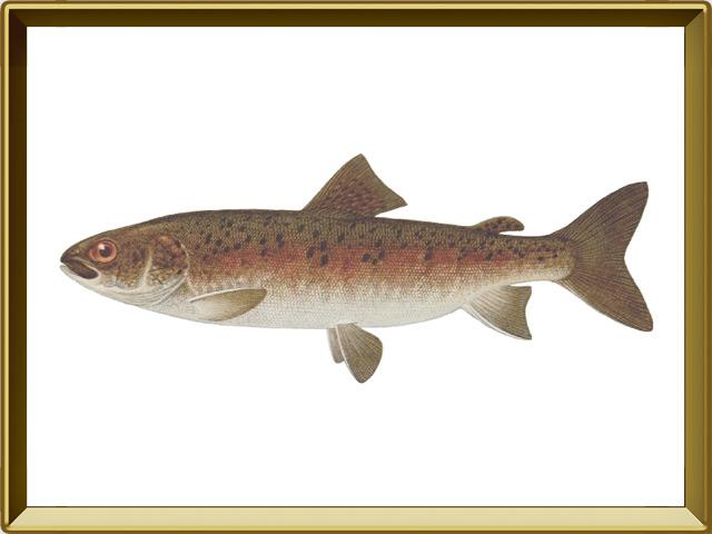 Ленок — рыба, фото в рамке №1