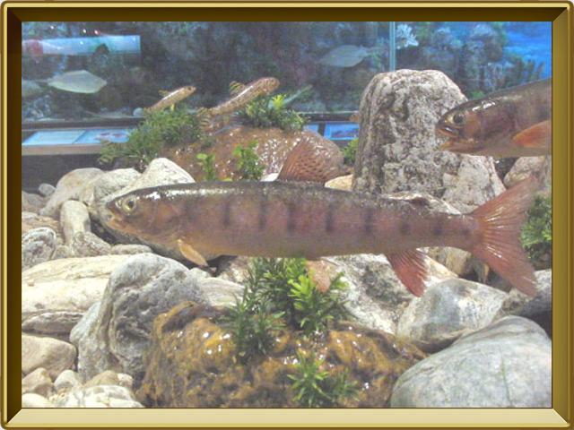 Ленок — рыба, фото в рамке №2