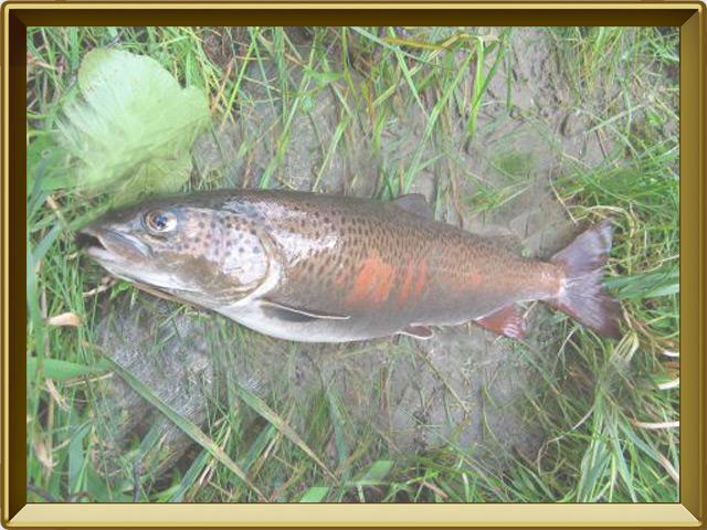 Ленок — рыба, фото в рамке №3