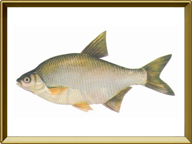 Лещ — рыба, фото в рамке №1