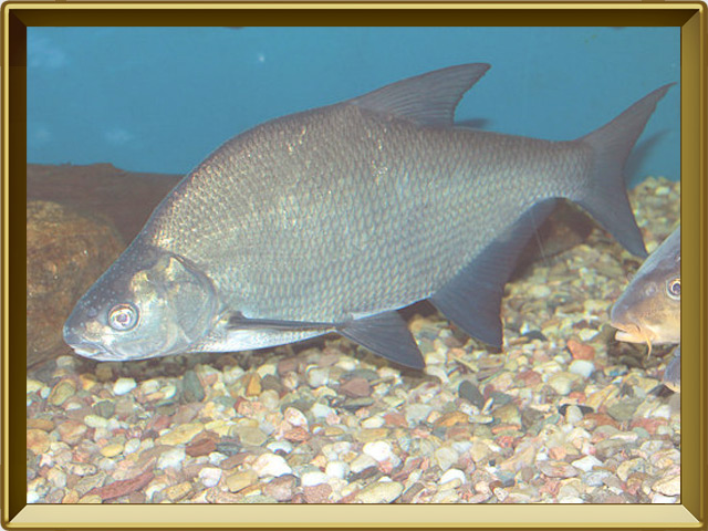 Лещ — рыба, фото в рамке №2