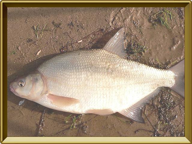Лещ — рыба, фото в рамке №3