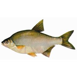 Лещ — рыба, картинка цветная