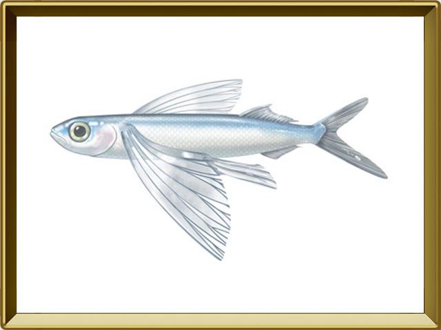 Летучая рыба — рыба, фото в рамке №1
