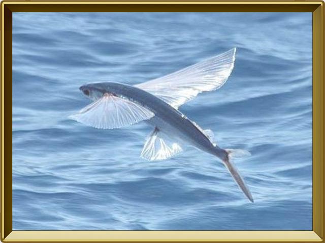 Летучая рыба — рыба, фото в рамке №2