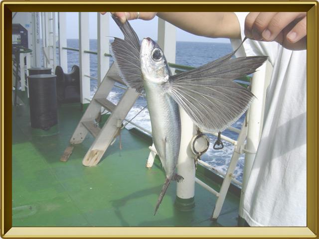 Летучая рыба — рыба фото в рамке №3