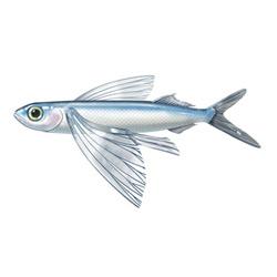 Летучая рыба — рыба, картинка цветная