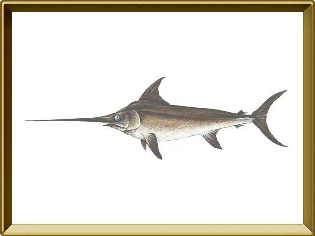 Меч-рыба — рыба, фото в рамке №1