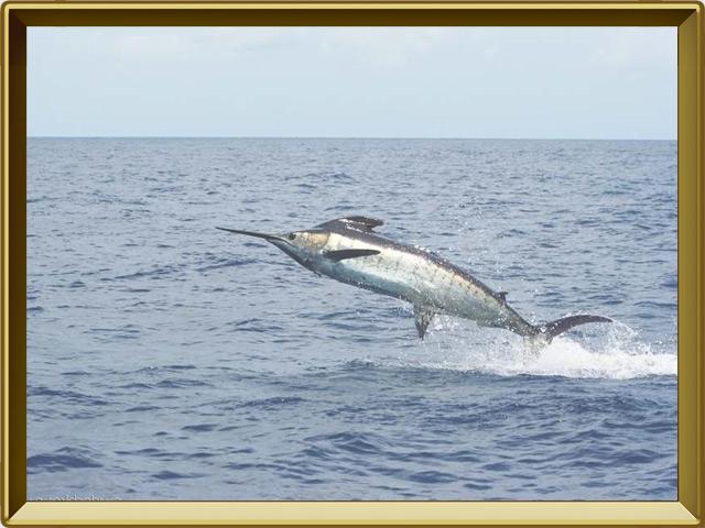 Меч-рыба — рыба, фото в рамке №2