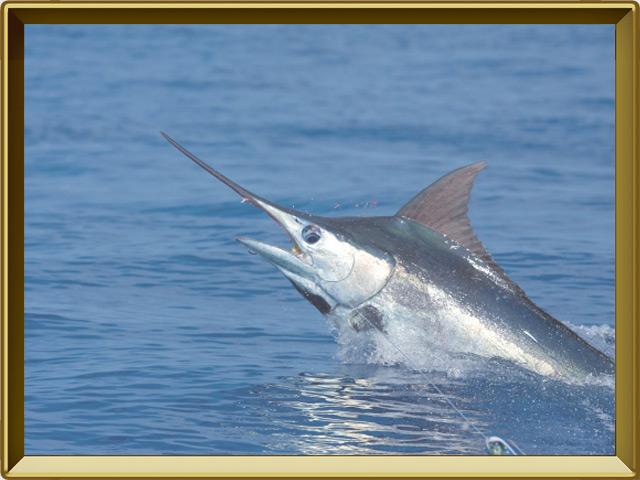 Меч-рыба — рыба, фото в рамке №3