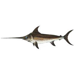 Меч-рыба — рыба, картинка цветная