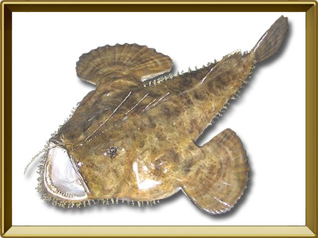 Морской чёрт — рыба, фото в рамке №1