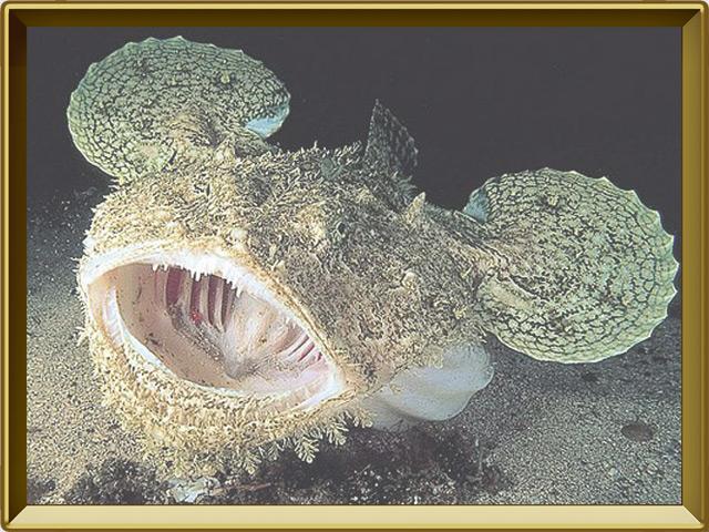 Морской чёрт — рыба, фото в рамке №2