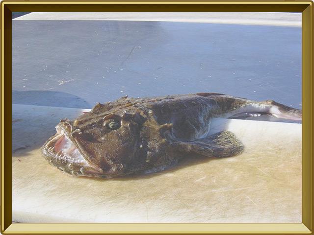 Морской чёрт — рыба, фото в рамке №3