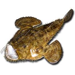 Морской чёрт — рыба, картинка цветная
