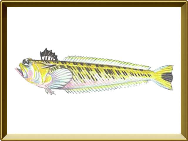 Морской дракончик — рыба, фото в рамке №1