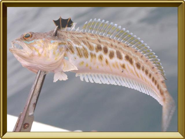 Морской дракончик — рыба, фото в рамке №3