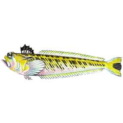 Морской дракончик — рыба, картинка цветная