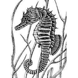 Морской конёк — рыба, картинка чёрно-белая